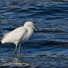 Kathleen Bishop - Snowy Egret Fishing