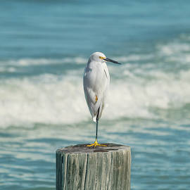 Kim Hojnacki - Snowy Egret - Naples Beach