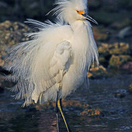 Larry Nieland - Snowy Egret Show Off