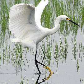 William Selander - Snowy Egret