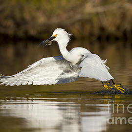 Bryan Keil - Snowy egret with lunch