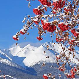 Stanza Widen - Snowy Mountain Ash