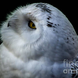 David Rucker - Snowy Owl