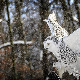 LeeAnn McLaneGoetz McLaneGoetzStudioLLCcom - Snowy Owl Landing