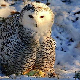 Larry Trupp - Snowy Owl