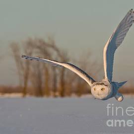 Michael Cummings - Snowy Owl Pictures 5