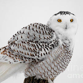 Michael Cummings - Snowy Owl Pictures 8