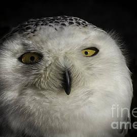 Mitch Shindelbower - Snowy Owl Portrait 3