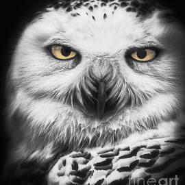 Mitch Shindelbower - Snowy Owl Study