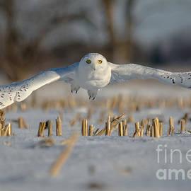 Cheryl Baxter - Snowy Owl Wingspan
