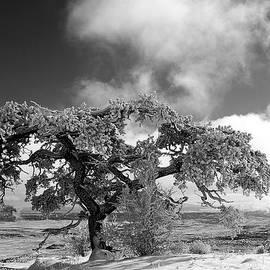 Dan Vallo - Snowy Pinion tree