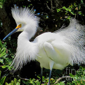 Jennie Breeze - Snowy White Egret Breeding Plumage