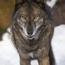 Jay Huron - Snowy Wolf