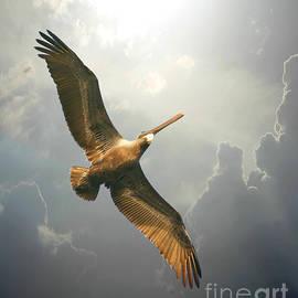 Mariarosa Rockefeller - Soaring Pelican