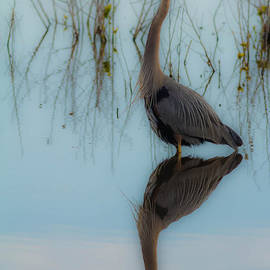Ursula Lawrence - Soft Blue Heron