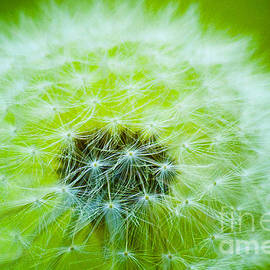 Jerry Cowart - Soft Fluffy Dandelion In Green