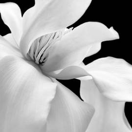 Jennie Marie Schell - Soft Light Magnolia Flower Black and White