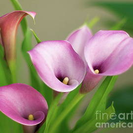 Byron Varvarigos - Soft Pink Calla Lilies