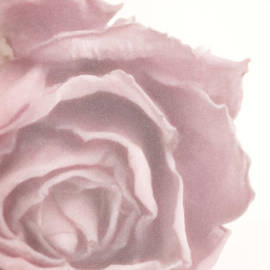 Sandra Foster - Soft Pink Dried Rose