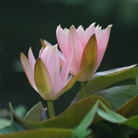Suzanne Gaff - Soft Pink Focus