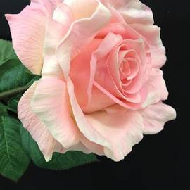 Jeannie Rhode Photography - Soft Pink Rose 1
