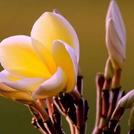 Kimberly  Reeves - Soft Plumeria