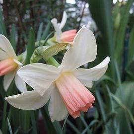 MTBobbins Photography - Soft Salmon Daffodils
