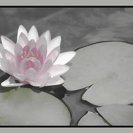 Rosalie Scanlon - Soft Toned Water Lily