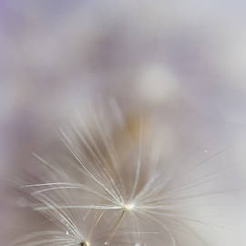 Jenny Rainbow - Soft Touch of Dandelion. Macro
