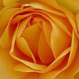 Denise Mazzocco - Soft Yellow Rose