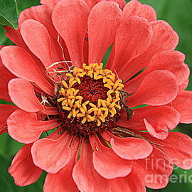 Photographic Art and Design by Dora Sofia Caputo - Softly in Coral - Zinnia