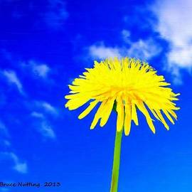 Bruce Nutting - Solitary Dandelion