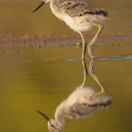 Ruth Jolly - Someday An Adult Avocet you will be