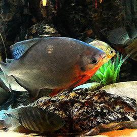 Shere Crossman - South American Cichlids