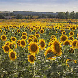 Nomad Art And  Design - South West Sunflowers