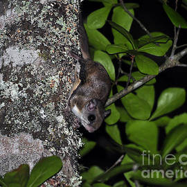 Al Powell Photography USA - Southern Flying Squirrel
