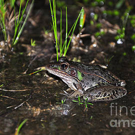 Al Powell Photography USA - Southern Leopard Frog