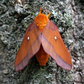 April Wietrecki Green - Southern Pink-Striped Oakworm Moth