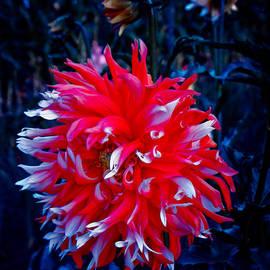Adria Trail - Sparkler Dahlia