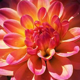 Rona Black - Sparkling Dahlia
