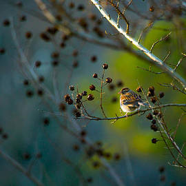 Shelby  Young - Sparrow in the Warm Light