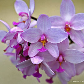 Winston D Munnings - Spathoglottis Plicata Orchid