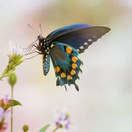 Bill Tiepelman - Spicebush Swallowtail Butterfly