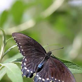 Christiane Schulze Art And Photography - Spicebush Swallowtail