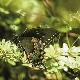 Constantine Gregory - Spicebush Swallowtail