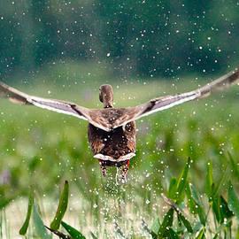 Shelle Ettelson - Splashy Take-off