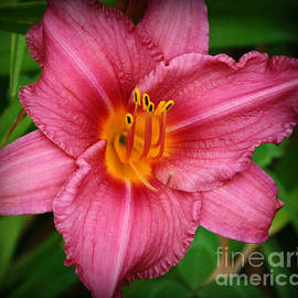 Photographic Art and Design by Dora Sofia Caputo - Splendor in Pink - Daylily