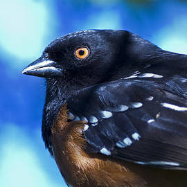 Rob Mclean  - Spoted Towhee