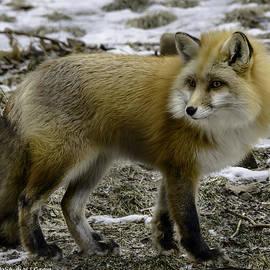 LeeAnn McLaneGoetz McLaneGoetzStudioLLCcom - Spotted by a red fox
