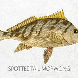 Spottedtail morwong